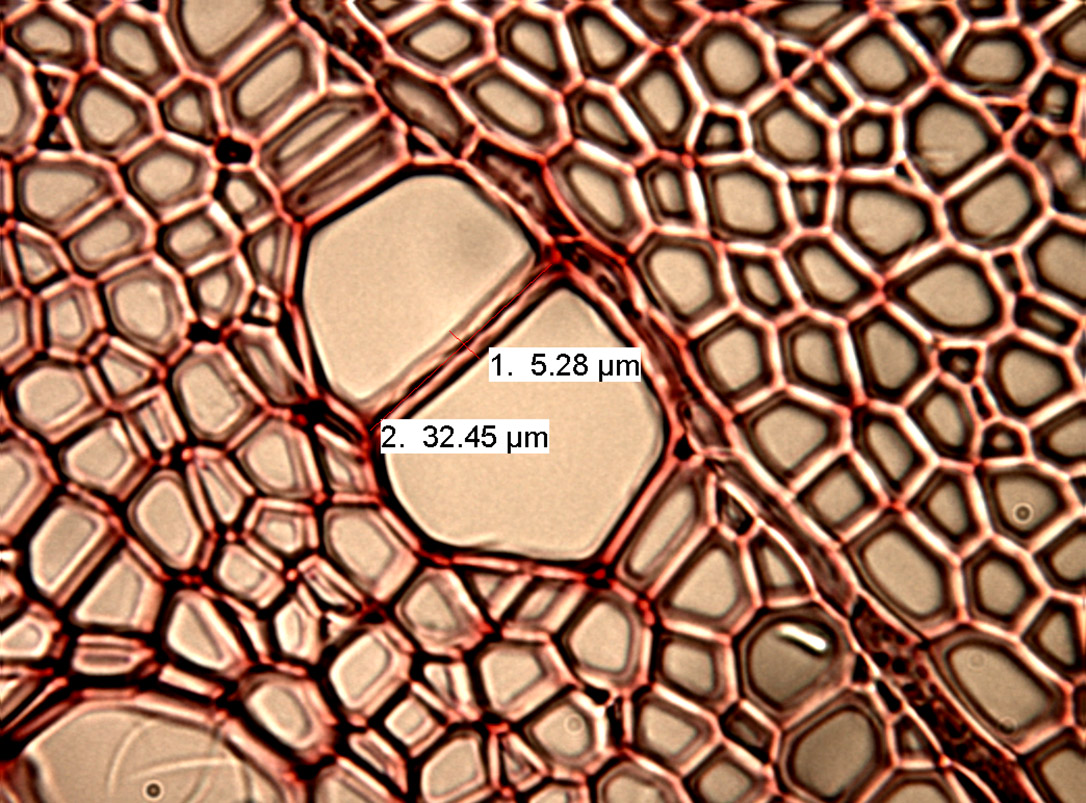 Cross-section through wood of Rhamnus frangula. Numbers: 1: Thickness of cell walls. 2: Diameter of larger conduit.