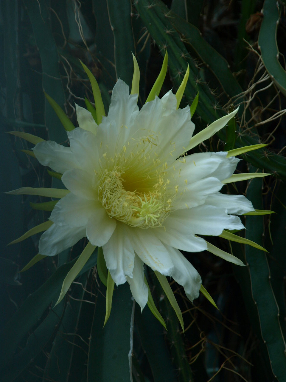 The diversity of opening and closing mechanisms found in angiosperm flowers are used as concept generators for bio-inspired technical folding and unfolding mechanisms; flower of the Bell of the Night (Hylocereus undatus, Cactaceae) (Plant Biomechanics Group Freiburg)