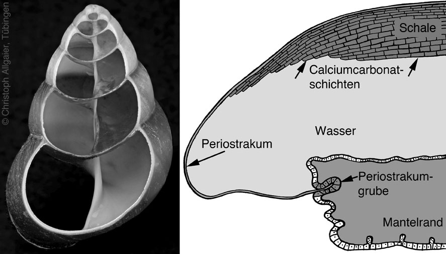 The periostracum, which covers the inorganic shell layers, displays various outgrowths including hair-like structures.