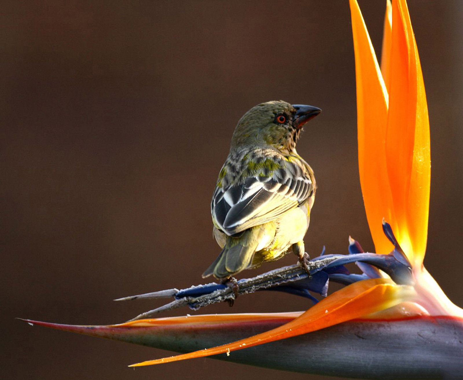 Strelitzia reginae being pollinated by a southern masked-weaver bird (Ruslow Koorts, Pretoria, South Africa)