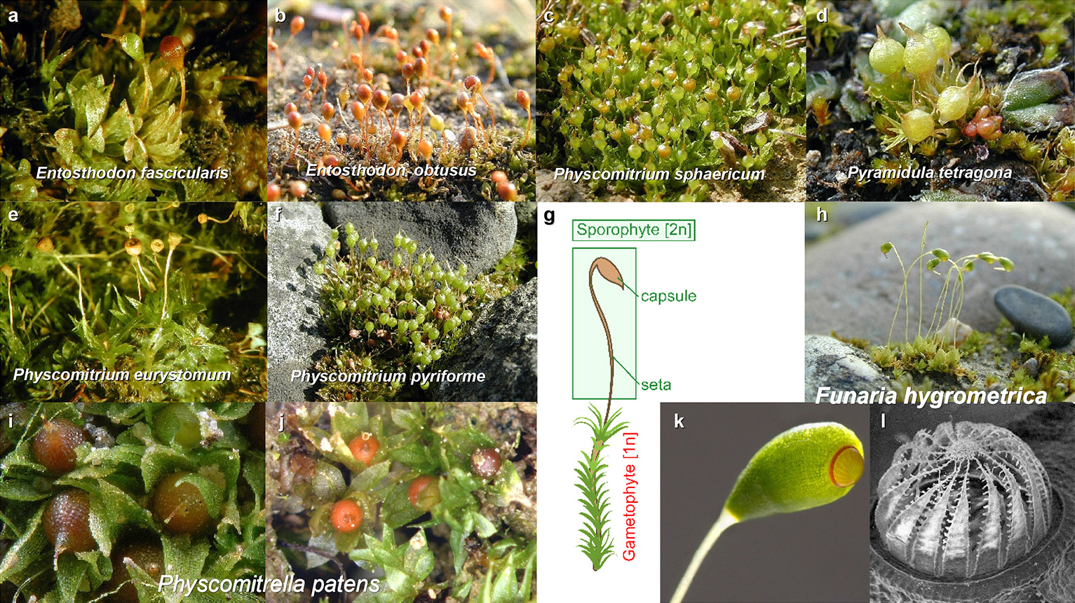 Morphological sporophyte diversity in the moss family Funariaceae