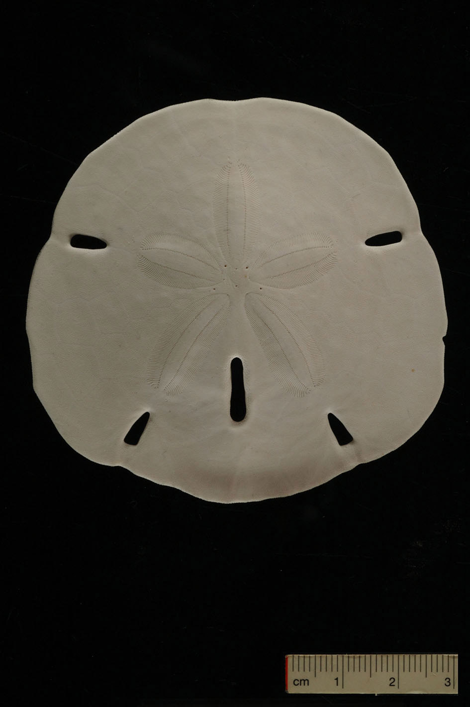 The sand dollar Mellita (Photo Gerber, Tübingen)