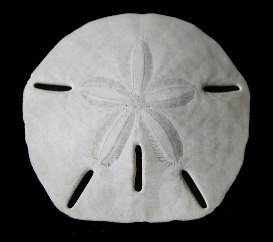 Sand dollar with characteristic holes (Photo Gerber, Tübingen)