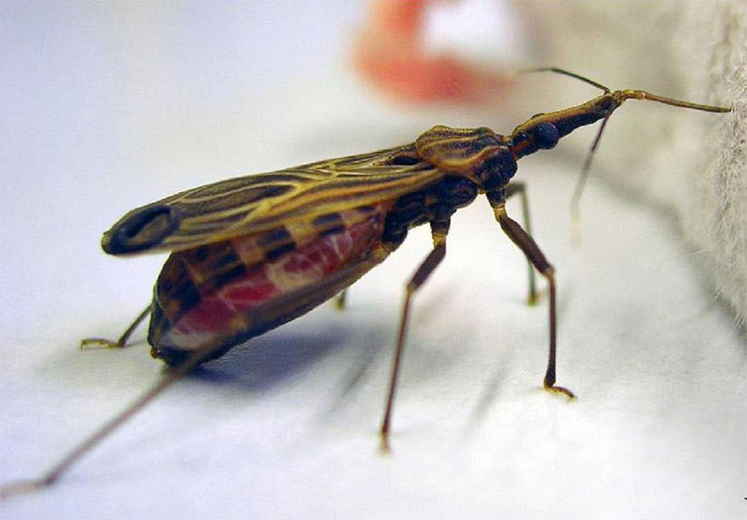 Blood-sucking bug