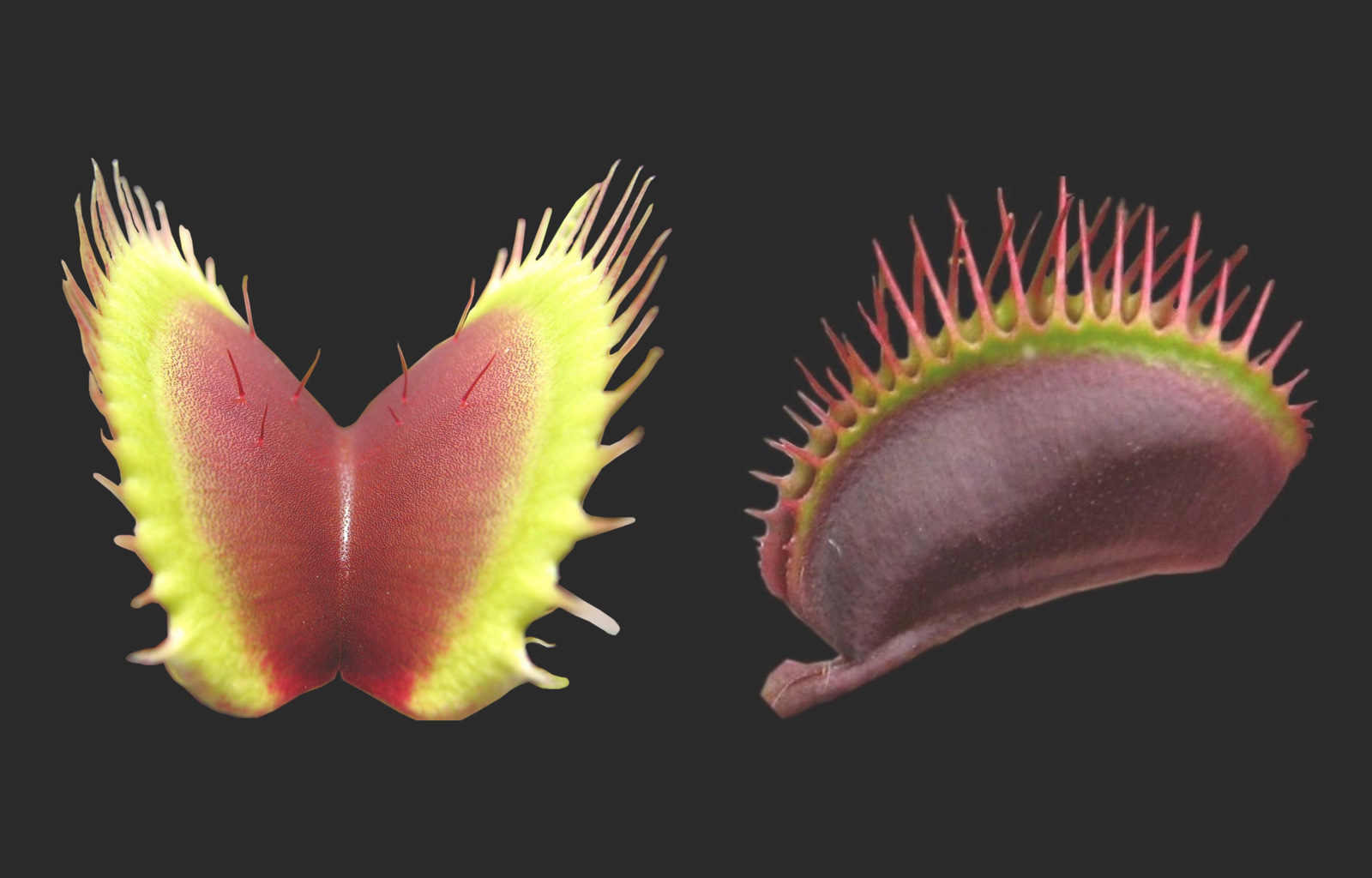 Trap leaf of a venus fly trap (Dionaea muscipula); the two halves of the modified trap leaf show snap buckling, speeding up the movement when being touched by prey animals (Plant Biomechanics Group Freiburg)