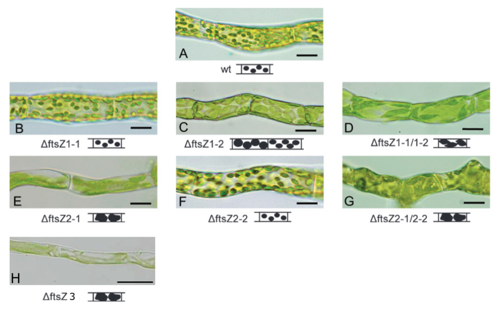 Fig.2: Knock-out mutants of the five FtsZ-isoforms in moss show distinct defects in chloroplast shape and division.