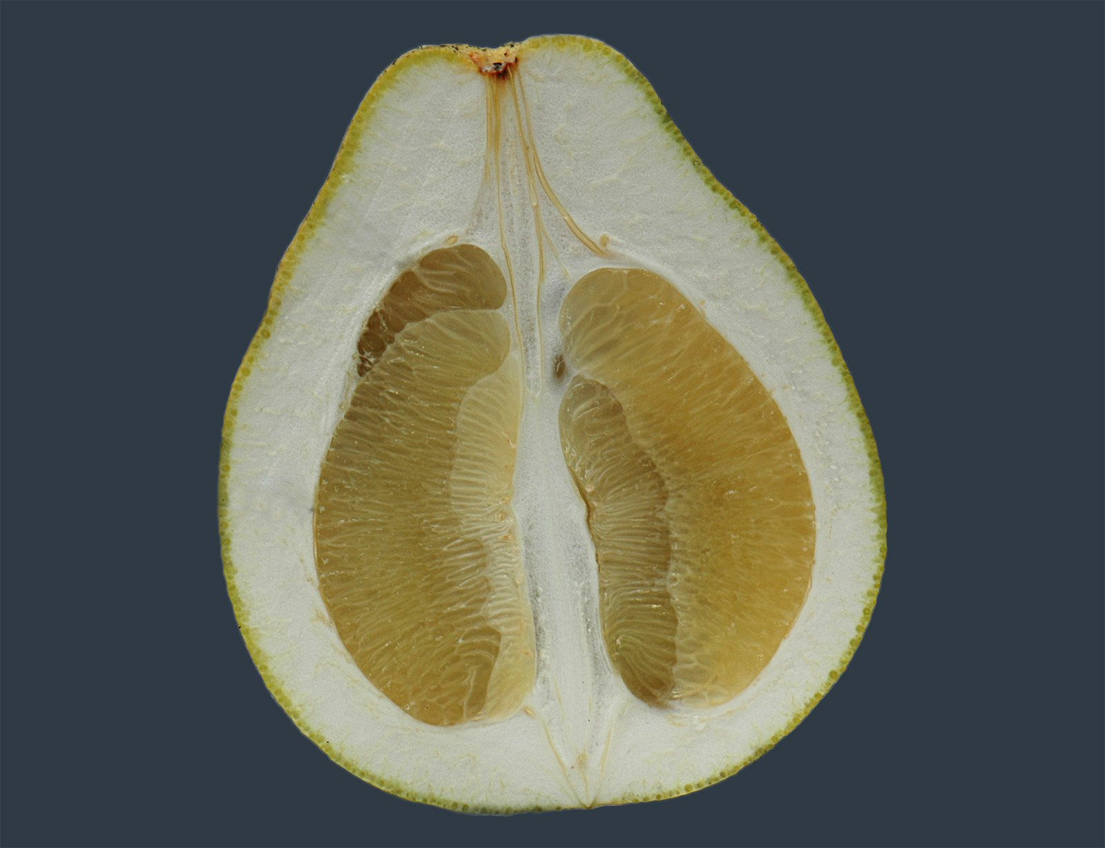 Longitudinal section of a pomelo fruit, showing the thick hierarchically structured peel which is crucial for the excelent impact damping.
