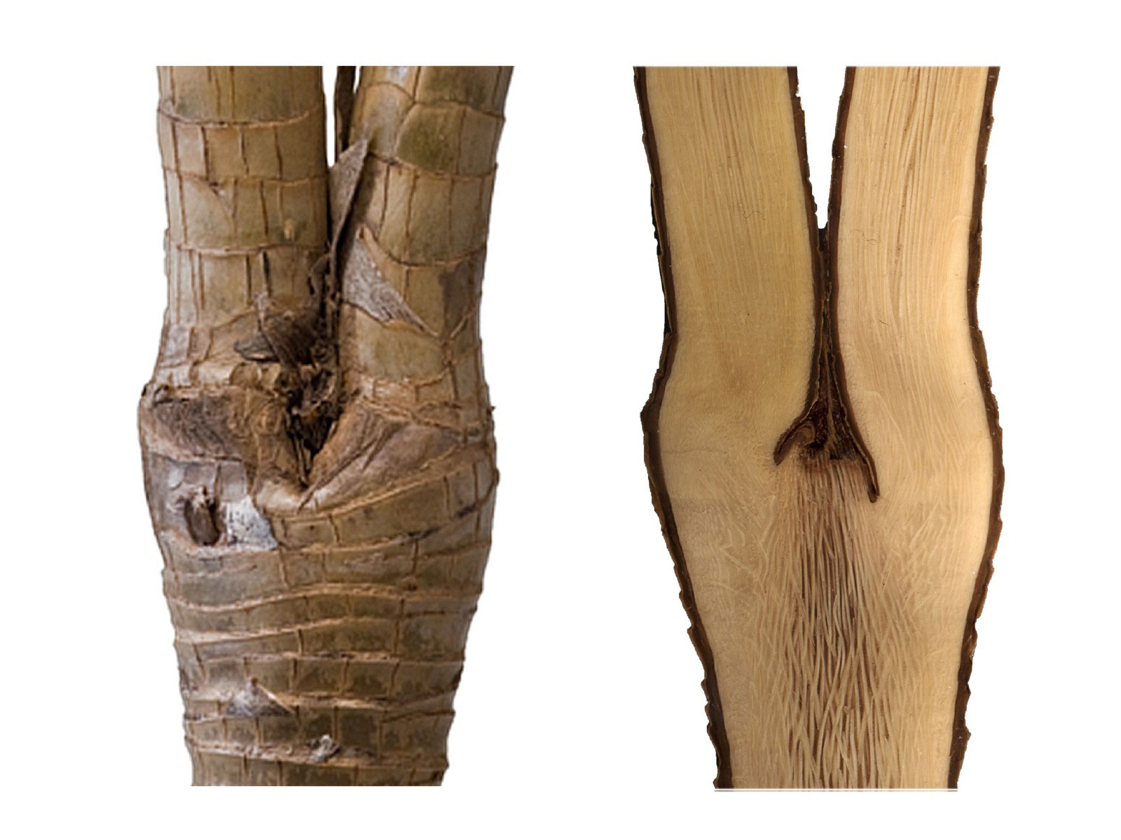 Branching of Dracaena fragans. Outer view of stem (left) and longitudinal section (right).